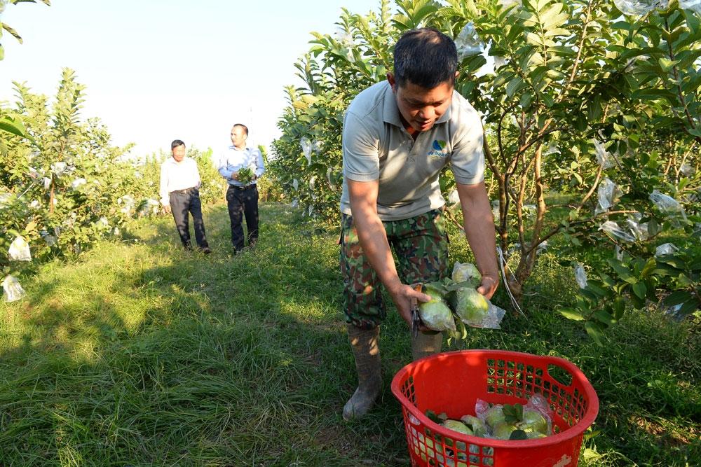Chi, tổ hội nông dân nghề nghiệp: Mô hình phù hợp, hoạt động hiệu quả - Ảnh 1.